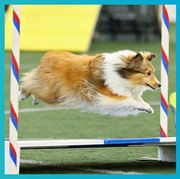 rally obedience, dog agility, dog, canidae, dog sports, flyball, dog breed, animal sports, carnivore, shetland sheepdog,