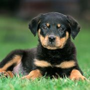 Young Rottweiler dog pup lying on lawn in garden