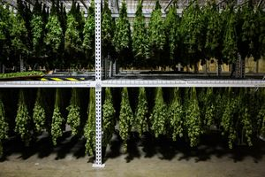Marijuana hangs in the drying room at Harboside Farms in Salinas, Calif., on Thursday, July 20, 2017.
