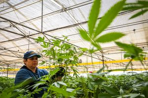 Liduvina Figueroa cleans up a marijuana plant during harvest at Harboside Farms in Salinas, Calif., on Thursday, July 20, 2017.