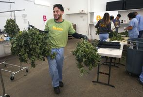 Supervisor Dale Ramos moves buds from the processing room to the dry room at Butterbrand Farms on Friday, August 18, 2017, in San Francisco, Calif.