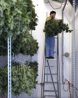 Supervisor Dale Ramos places buds in the dry room at Butterbrand Farms on Friday, August 18, 2017, in San Francisco, Calif.