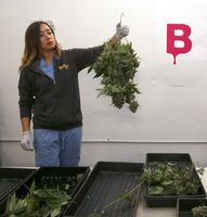 Trimmer Massiel Picado hangs marijuana plants to dry at Butterbrand Farms on Friday, August 18, 2017, in San Francisco, Calif.
