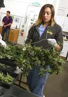 Trimmer Massiel Picado prepares marijuana plants to dry at Butterbrand Farms on Friday, August 18, 2017, in San Francisco, Calif.