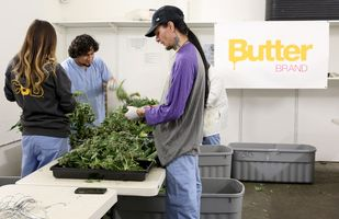 Marijuana plants just harvested being processed for drying at Butterbrand Farms on Friday, August 18, 2017, in San Francisco, Calif.