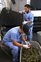 Processor Calvin Lee (top) works a trimming machine while buds are being hand trimmed  (below) at Butterbrand Farms on Friday, August 18, 2017, in San Francisco, Calif.