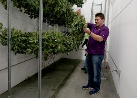 Co-founder and CEO Eric Battuello checks buds in the dry room at Butterbrand Farms on Friday, August 18, 2017, in San Francisco, Calif..