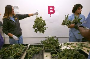 Trimmer Massiel Picado (left) hangs marijuana plants to dry as processor Brian Ramos (right) prepares plant for hanging at Butterbrand Farms on Friday, August 18, 2017, in San Francisco, Calif.