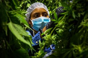 Worker Marciela Quiroz separates marijuana flowers and leaves off of a stalk during a harvest at Harboside Farms in Salinas, Calif., on Thursday, July 20, 2017.