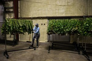 Worker Guadelupe Brito pulls a rack of marijuana plants through the drying room during harvest at Harboside Farms in Salinas, Calif., on Thursday, July 20, 2017.