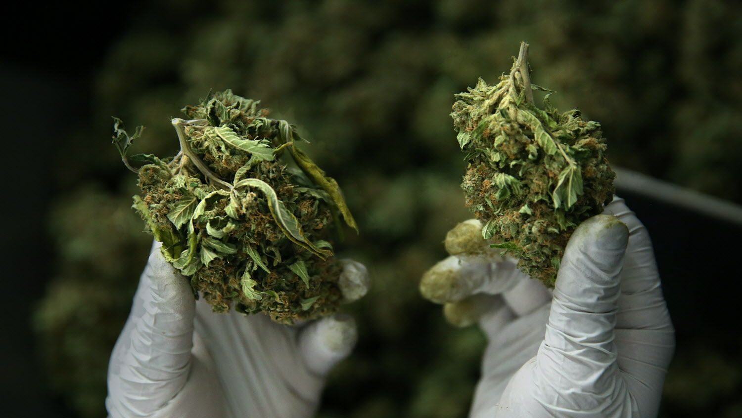 Processor Calvin Lee shows a regular dried bud (left) and one trimmed by a trimming machine (right) as he works a trimming machine at Butterbrand Farms on Friday, August 18, 2017, in San Francisco, Calif. SOURCE: Liz Hafalia