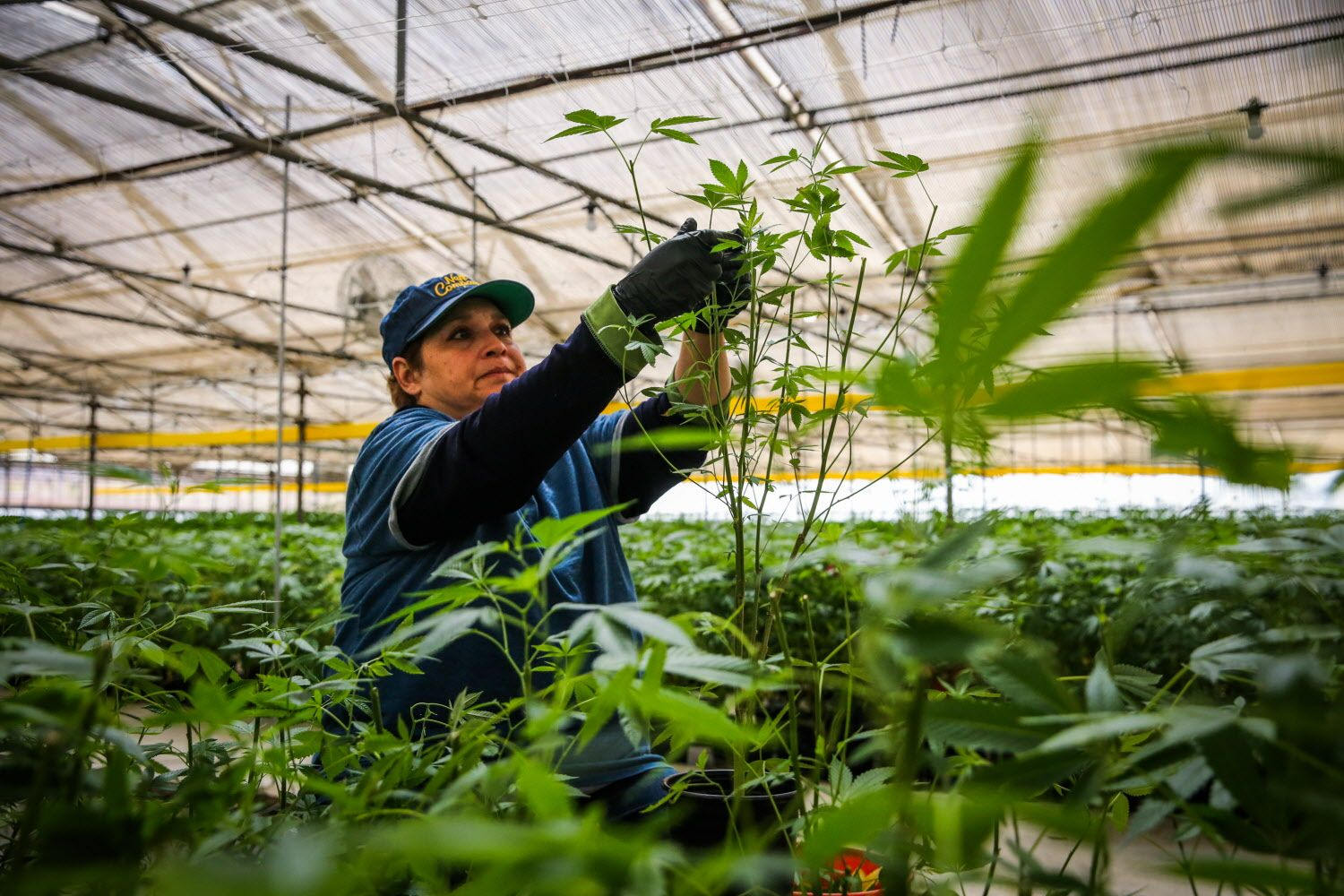 A Harborside Farms worker gathers cuttings for transplant in Salinas, Calif.​