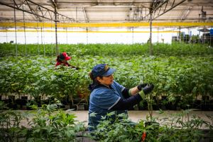 Liduvina Figueroa (right) cleans up a marijuana plant during harvest at Harboside Farms in Salinas, Calif., on Thursday, July 20, 2017.