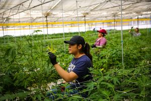 Workers (declined name) check on marijuana plants at Harboside Farms in Salinas, Calif., on Thursday, July 20, 2017.