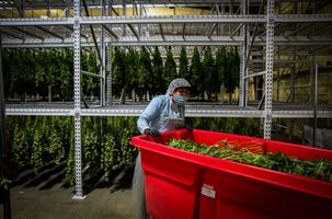 Worker Guadelupe Brito pushes a cart of marijuana plants through the drying room during harvest at Harboside Farms in Salinas, Calif., on Thursday, July 20, 2017.