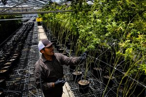 Worker Gregorio Ramirez cuts the trellis from the outside of marijuana plants in order to harvest them at Harboside Farms in Salinas, Calif., on Thursday, July 20, 2017.