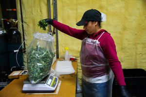 Worker Mary Acosta weighs marijuana during harvest at Harboside Farms in Salinas, Calif., on Thursday, July 20, 2017.