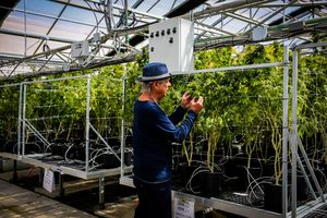 CEO Steve DeAngelo smells a marijuana plant while giving a tour of a greenhouse at Harboside Farms in Salinas, Calif., on Thursday, July 20, 2017.