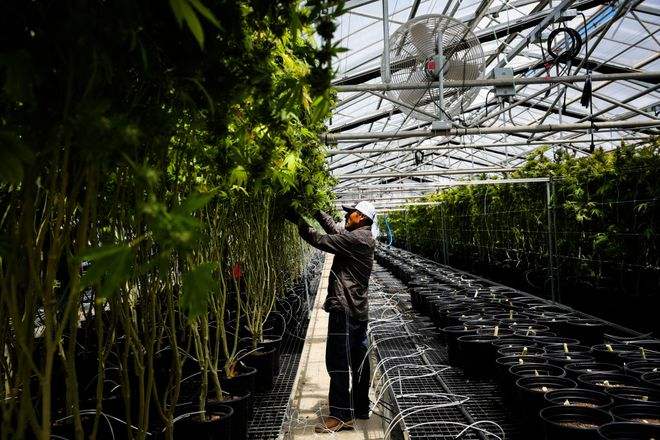 A worker harvests cannabis plants at Harboside Farms in Salinas, Calif., on Thursday, July 20, 2017.