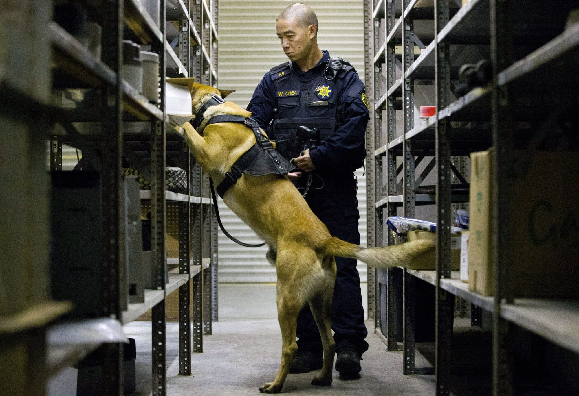 Alameda County sheriff's deputy Wesley Chea and his dog Denny search for drugs during narcotics K-9 training at the Oakland International Airport on Thursday, May 11, 2017, in Oakland, Calif. The dogs and the handlers are training to spot many types of drugs, excluding marijuana. Amid legalization of marijuana, California's current pot-sniffing K-9s face retirement.