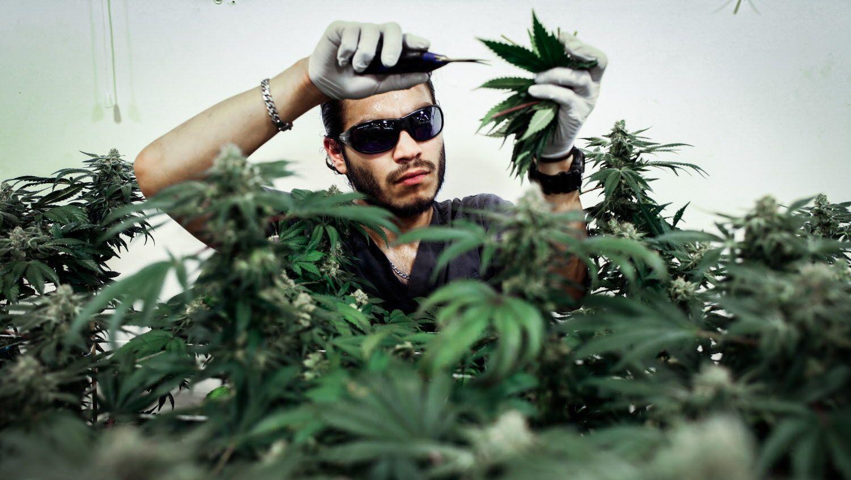 Production supervisor Joshua Ramos trims marijuana plants in a flowering nursery at ButterBrand farms in San Francisco, California, on Friday, Oct. 28, 2016.