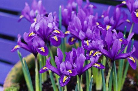 Flower, Flowering plant, Plant, Purple, Iris reticulata, Blue, Petal, Violet, Spring, Iris,