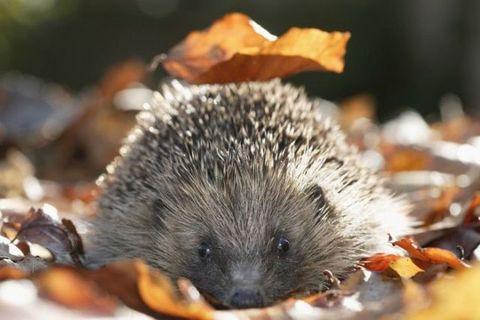 Hedgehog, Erinaceidae, Organism, Amber, Adaptation, Domesticated hedgehog, Light, Iris, Orange, Snout,