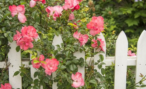 pink-roses-on-picket-fence