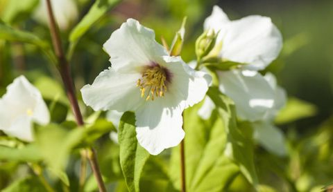 fragrant-flowers-mock-orange