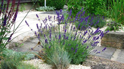fragrant-flowers-lavender