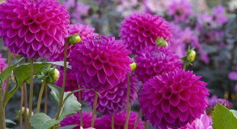 flower-bulbs-pink-dahlias