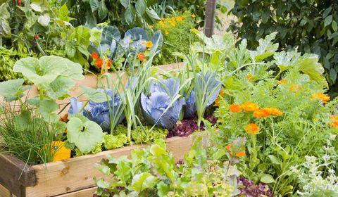 kitchen-garden-raised-beds