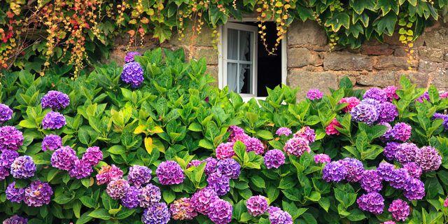 Plant, Flower, Shrub, Purple, Garden, Violet, Lavender, Flowering plant, Groundcover, Annual plant,