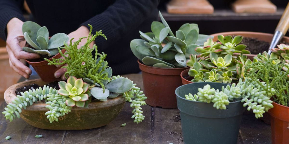 How To Grow Succulents Indoors And Out