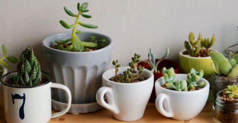 Succulents In Mugs