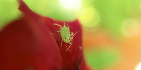 aphid-on-plant