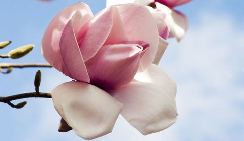 magnolia-atlas