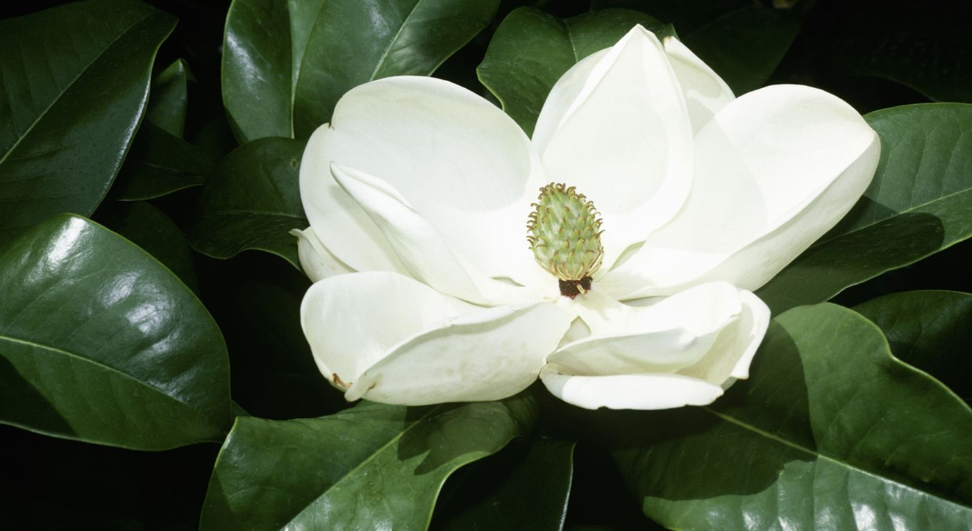 10 Fascinating Facts Every Magnolia Lover Should Know