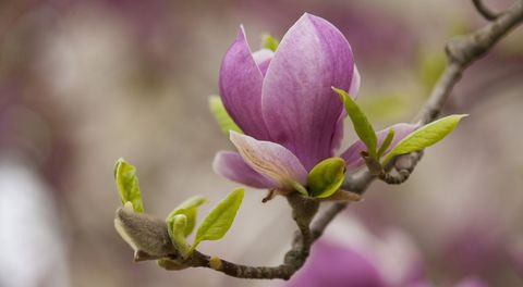 magnolia-bloom-on-branch