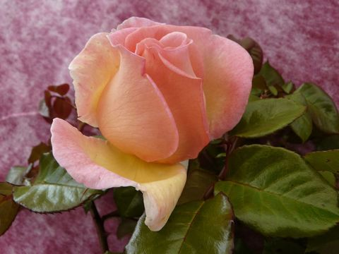 Harkness-Roses-Syrie-Rose-pink-peach