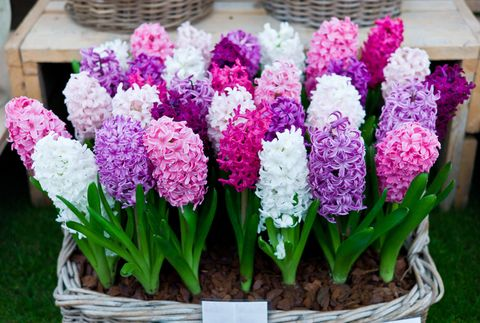 Hyacinthus Orientalis at the Chelsea Flower Show