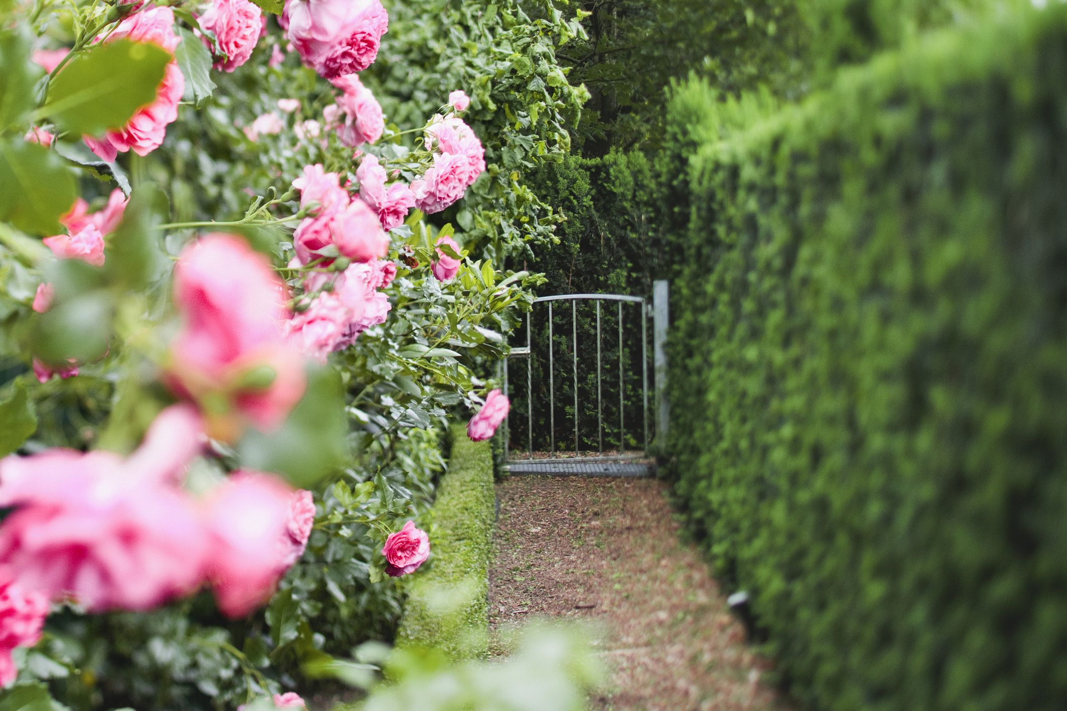 Planting A Hedge In Your Garden What To Avoid And What To Try