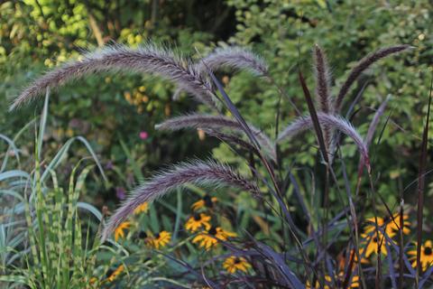 Adam Pasco Media_Ornamental grass - Pennisetum setaceum Summer Samba. Horticultural Trades Association's Plant of the Moment for August.