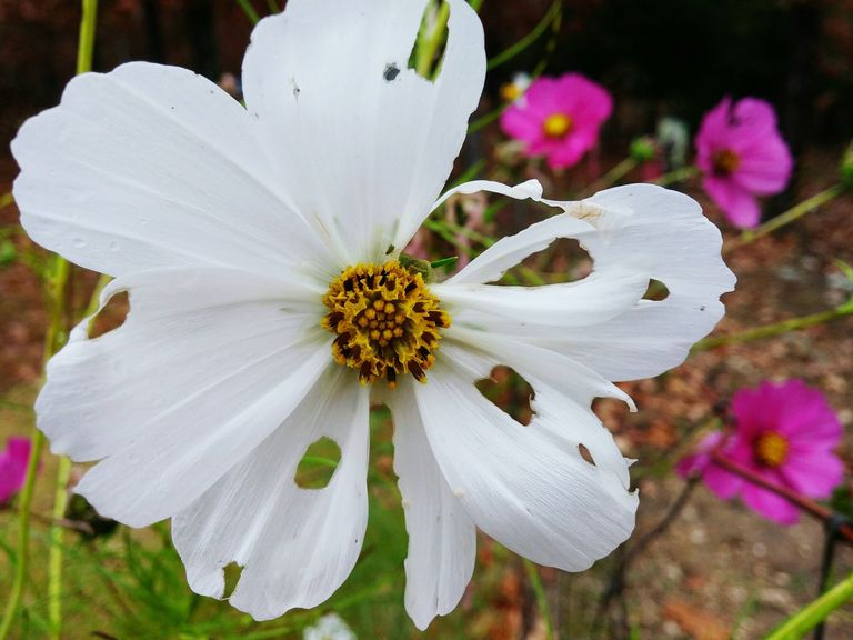 inspiration house plants that repel bugs. Close Up Of White Flowers With Hole In Garden 9 bug repelling plants for your garden