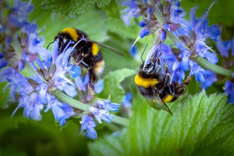 Bumble bees buzzing around a salvia plant in an Oldham garden.