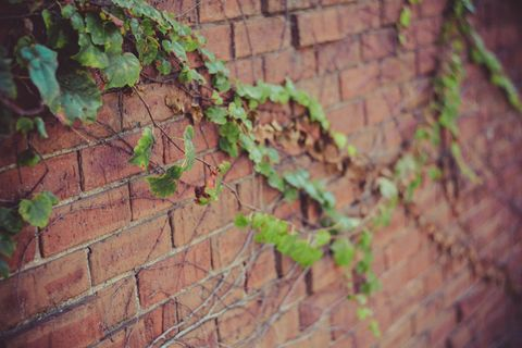 Close up of leafy vines climbing along brick wall