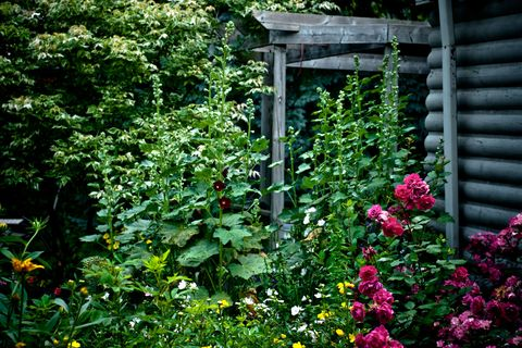 How to give your cottage garden the wow factor all year round hollyhocks 10 feet tall climbing roses and other perennial flowers in a blooming english summer mightylinksfo