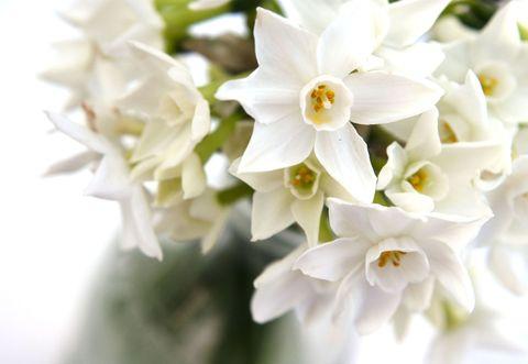 White narcissi - indoor daffodil