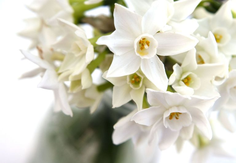 Plant indoor bulbs for flowers at christmas white narcissi indoor daffodil mightylinksfo Image collections