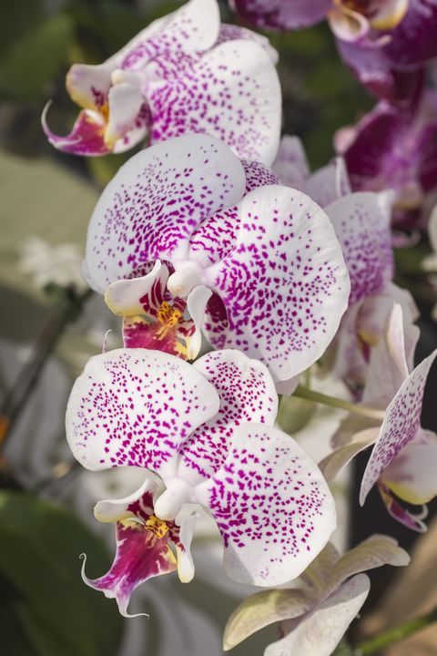 Phalaenopsis orchid in Hawaii